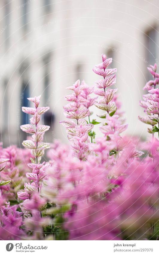 branitzer schlorchidee Natur schön Sommer Pflanze Blume Umwelt Gras Glück Garten Park rosa Zufriedenheit Wachstum Romantik Lebensfreude Blühend