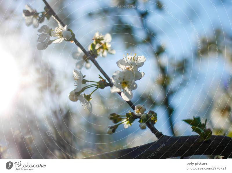 Kirschblüte im Frühling im Garten Freizeit & Hobby Umwelt Natur Pflanze Sommer Schönes Wetter Baum ästhetisch schön Blüte Blütenknospen Kirschblüten Kirschbaum