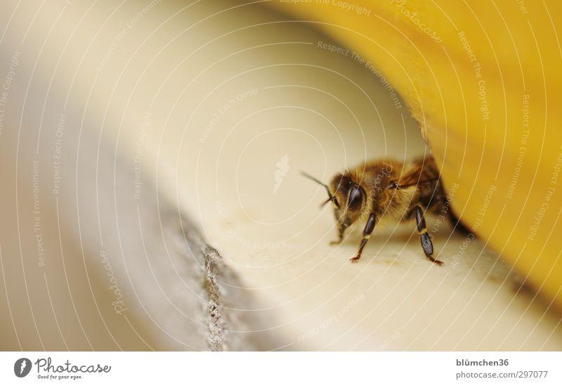Neues von Maja schön Tier feminin klein natürlich Arbeit & Erwerbstätigkeit fliegen sitzen weich beobachten Lebensfreude Fell Insekt Biene Nutztier Tatkraft