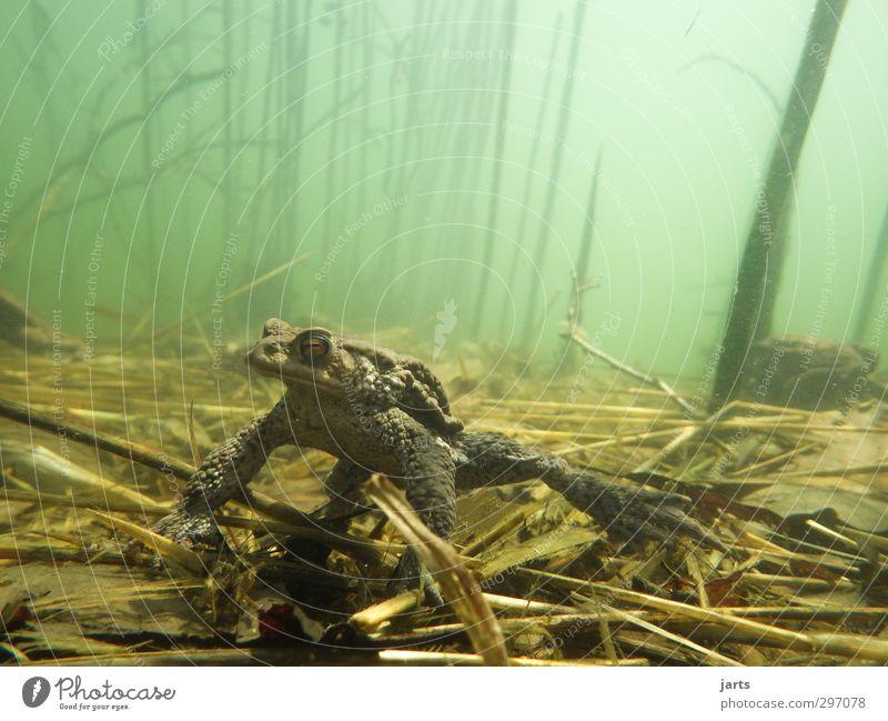 erdkröte Natur Pflanze Tier Frühling Sommer Teich See Wildtier Frosch 1 Schwimmen & Baden beobachten tauchen ruhig ausruhend Farbfoto Außenaufnahme