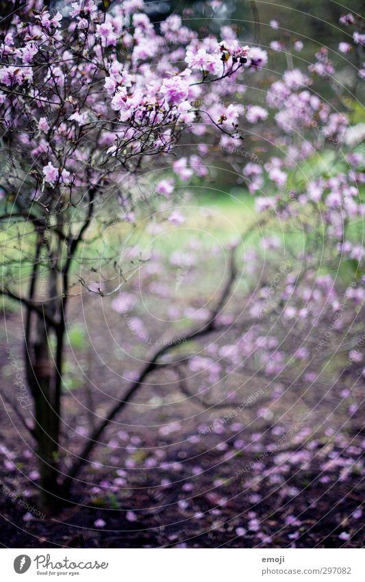 fliederfarben Natur Pflanze Umwelt Blüte natürlich Sträucher violett Fliederbusch