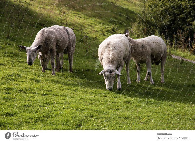 Böcke-Zweiergruppen Ferien & Urlaub & Reisen Umwelt Natur Landschaft Tier Schönes Wetter Gras Sträucher Park Wiese Hügel Großbritannien Schaf Bock 4 Tiergruppe