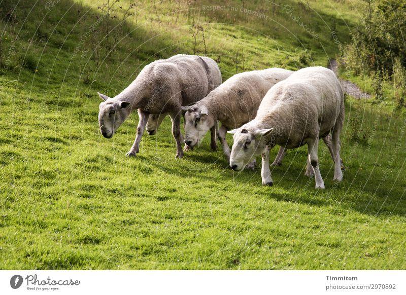 Böcke-Vierergruppe Ferien & Urlaub & Reisen Umwelt Natur Landschaft Tier Schönes Wetter Gras Sträucher Park Wiese Hügel Großbritannien Schaf Bock 4 Tiergruppe