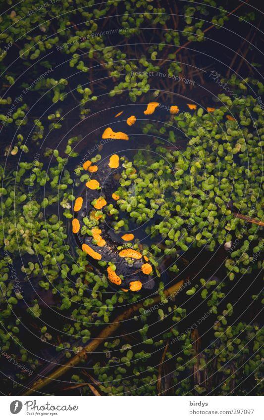 Amphibienwelt Wasserlinsen Teich Salamander Feuersalamander Schwanzlurche Lurch Reptil 1 Tier Schwimmen & Baden leuchten ästhetisch authentisch natürlich