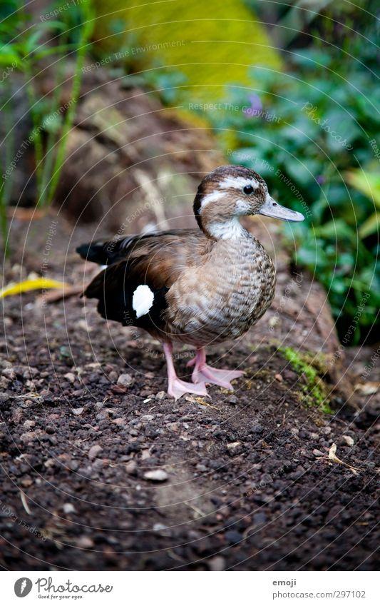 entertainment Natur Tier Umwelt Tierjunges natürlich Wildtier Ente