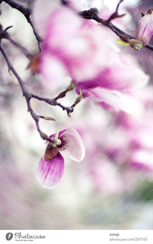 magnolia Umwelt Natur Pflanze Frühling Baum Blume Blüte rosa Magnolienbaum Magnolienblüte Farbfoto Außenaufnahme Makroaufnahme Menschenleer Tag