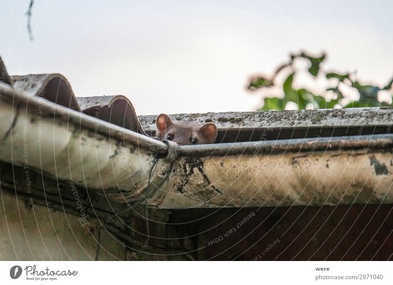 Stone marten peeks out of a gutter Natur Tier Tierjunges Wildtier niedlich Neugier Marder