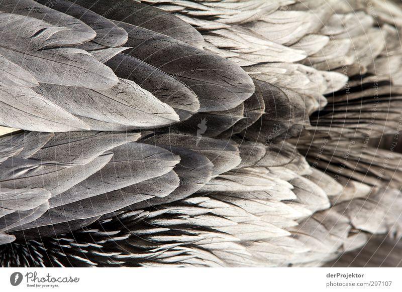 Federschmuck Umwelt Natur Tier Frühling Vogel Zoo 1 Aggression ästhetisch eckig elegant exotisch frei grau schwarz silber weiß Pelikan Wildnis