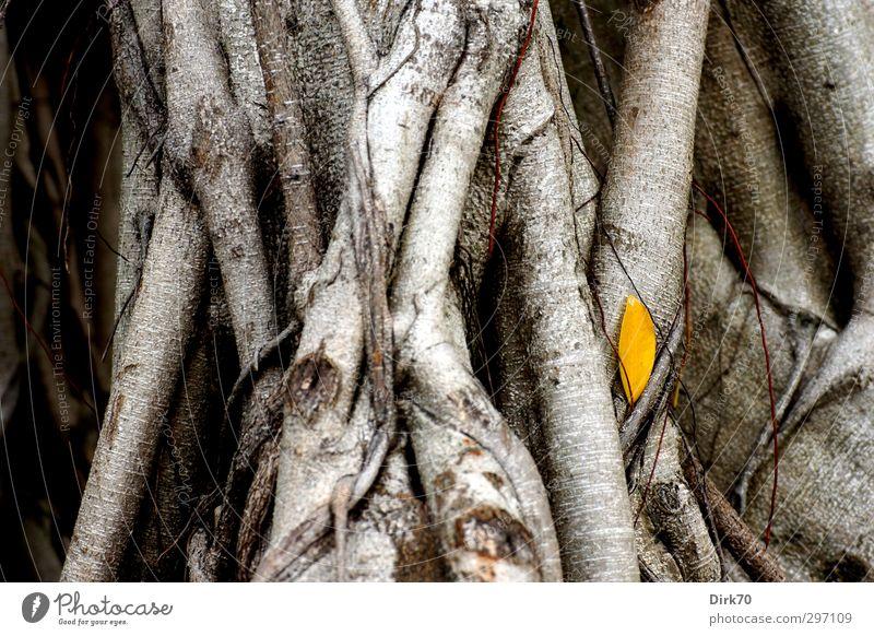 Farbklecks herbstlich - gelbes Blatt vor grauem Stamm Natur Pflanze Herbst Baum Gummibaum Baumstamm Ast Zweig Wurzel Park Taipeh Taiwan Asien alt verblüht