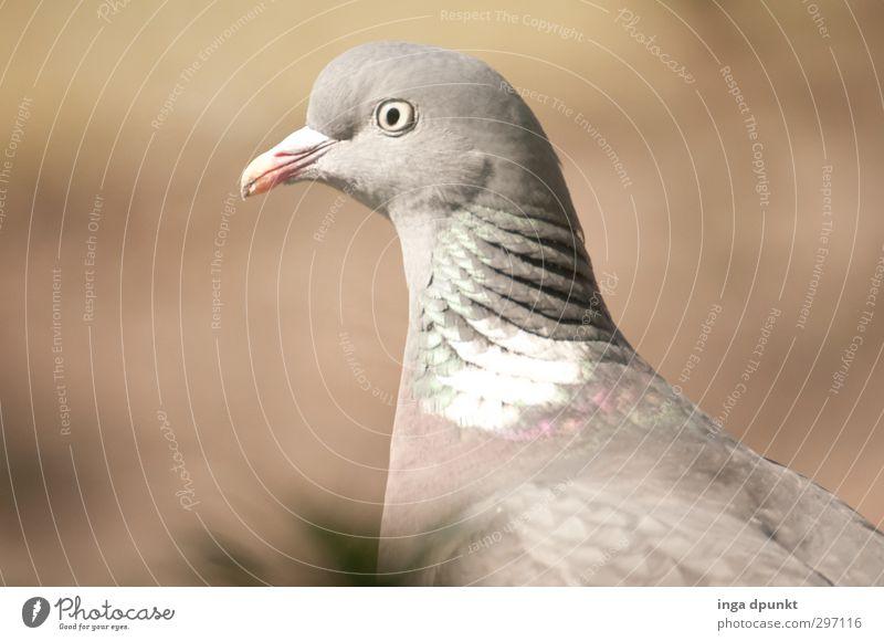 freundlich Umwelt Natur Tier Tiergesicht Flügel Taube Vogel Brieftaube Zugvogel 1 Freundlichkeit schön grau ruhig geduldig friedlich Blick Auge Farbfoto