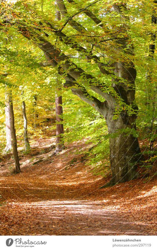 Gesegneter Weg Natur Sonne Herbst Schönes Wetter Pflanze Baum Blatt Buche Wald Wege & Pfade ästhetisch Freundlichkeit hell natürlich schön gelb grün orange