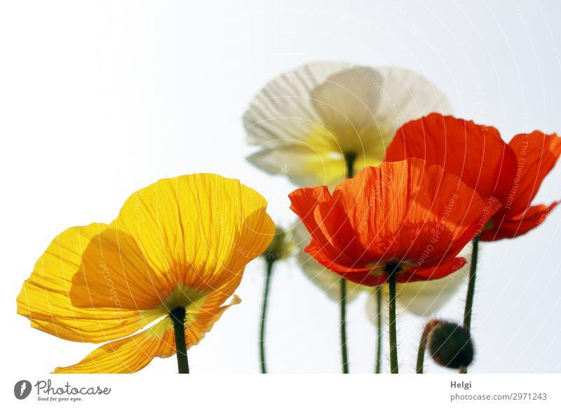 rote, gelbe und weiße Blüten von Mohnblumen im Gegenlicht Umwelt Natur Pflanze Frühling Schönes Wetter Blume Mohnblüte Blütenknospen Stengel Garten Blühend