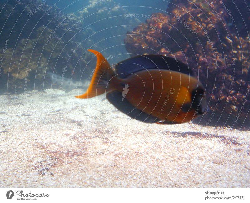 Meerwasserfisch Korallen mehrfarbig Unterwasseraufnahme Mangel Aquarium Fisch Wasser selten