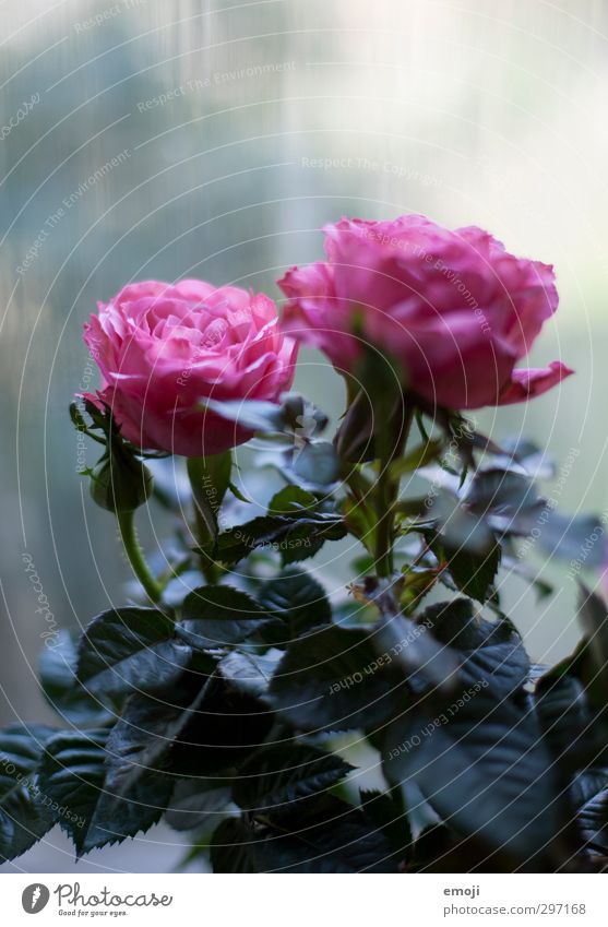 kühl Umwelt Natur Pflanze Frühling Blume Rose Blüte kalt natürlich rosa Farbfoto Außenaufnahme Menschenleer Textfreiraum oben Tag Schwache Tiefenschärfe