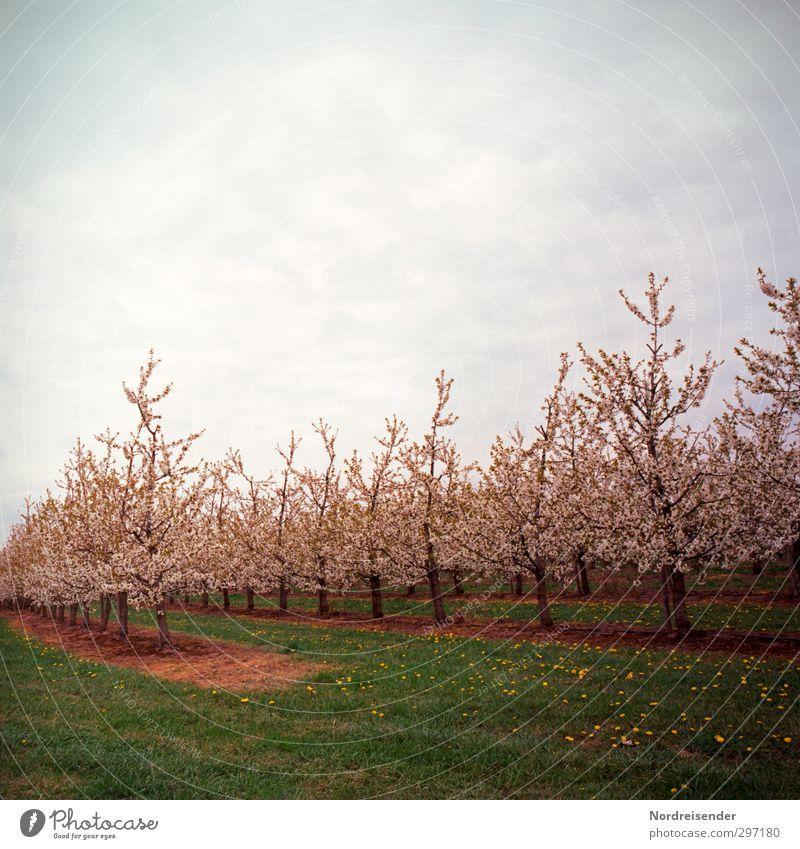 Kirschblüte Frucht Bioprodukte Sinnesorgane Duft Natur Pflanze Frühling Baum Wiese Feld Blühend leuchten Wärme mehrfarbig Romantik Beginn Farbe rein Plantage