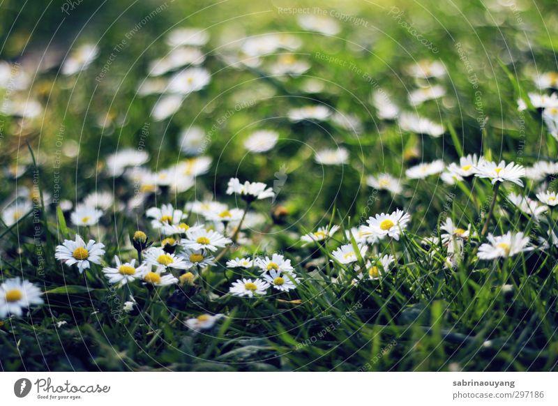 Natur grün schön weiß Sommer Pflanze Umwelt gelb Liebe Gras Frühling Blüte natürlich träumen Feld frisch