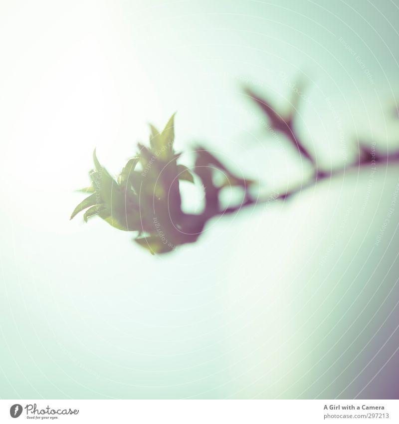 beginnings Umwelt Natur Pflanze Frühling Blüte Wald Wachstum neu Blütenknospen zartes Grün grün Ast Neuanfang Gedeckte Farben Außenaufnahme Nahaufnahme