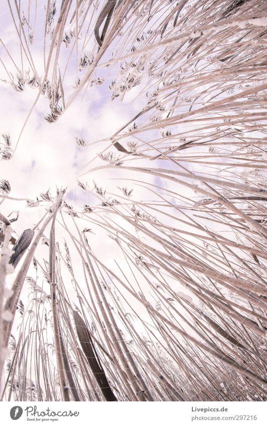 da Schilf Umwelt Natur Pflanze Himmel Wolken Winter Schnee Sträucher Wildpflanze Feld violett rosa Schilff Farbfoto Außenaufnahme Tag Fischauge Blick nach oben