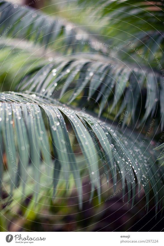 Assoziationen Natur grün Pflanze Baum Blatt Umwelt natürlich Sträucher Wassertropfen Urwald exotisch Palmenwedel