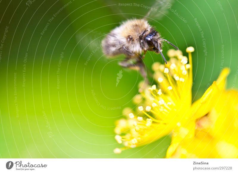 Der Sommer kommt Natur Pflanze Tier Frühling Schönes Wetter Blüte Garten Wiese Biene 1 Blühend Duft füttern genießen träumen authentisch Fröhlichkeit frisch