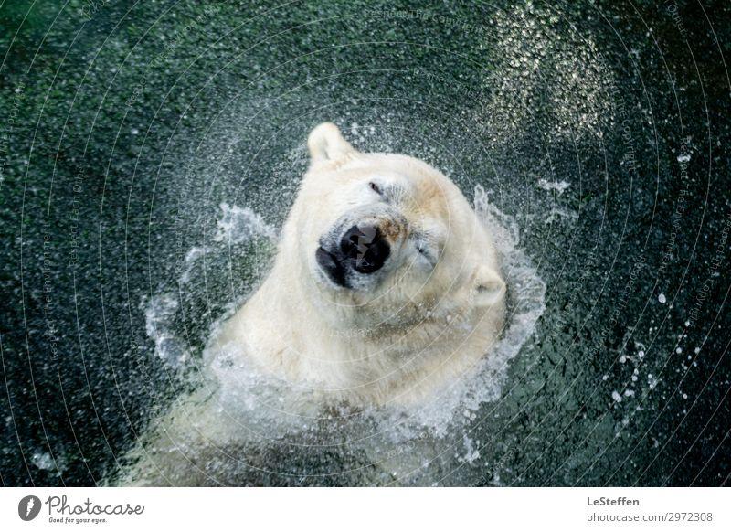 head shaking polar bear / Kopfschüttelder Eisbär Natur blau Wasser Tier kalt natürlich Bewegung Schwimmen & Baden wild frei Wildtier Kraft authentisch