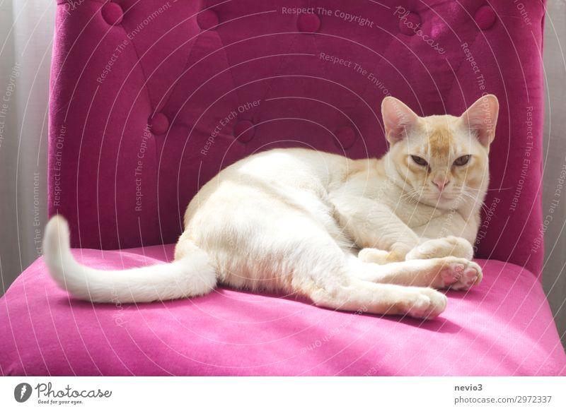 Selbstbewusst Tier Katze 1 Tierjunges schön rosa Gelassenheit geduldig ruhig Müdigkeit Unlust Hemmungslosigkeit egoistisch beige Hauskatze Katzenbaby faulenzen