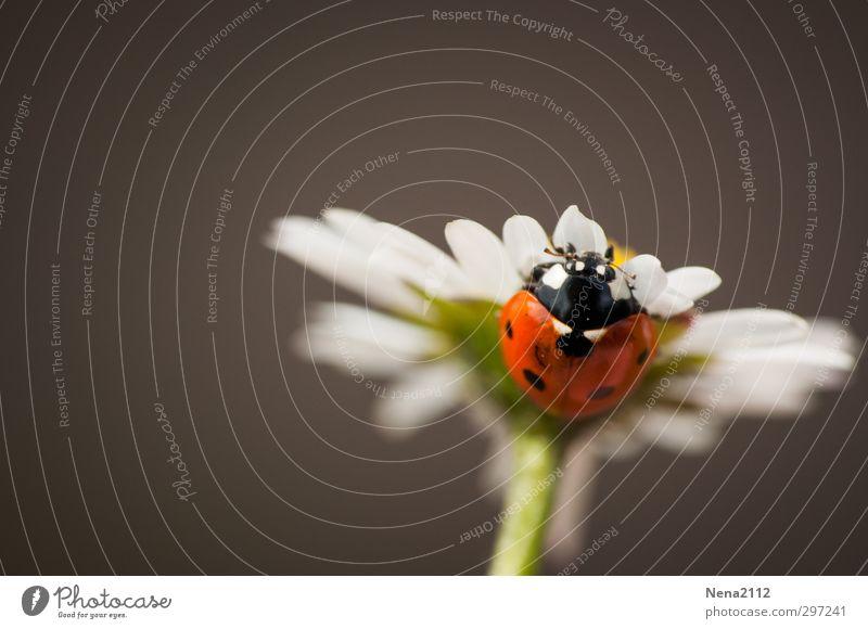 Zumutung | Immer and der Spitze sein Natur Pflanze Tier Frühling Sommer Schönes Wetter Blume Garten Park Wiese Käfer 1 rot Glück Marienkäfer ehrgeizig oben