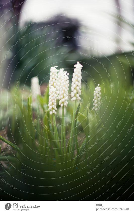 beschützt Umwelt Natur Pflanze Frühling Blume Blüte Grünpflanze natürlich grün Hyazinthe Traubenhyazinthe Farbfoto Außenaufnahme Makroaufnahme Menschenleer Tag