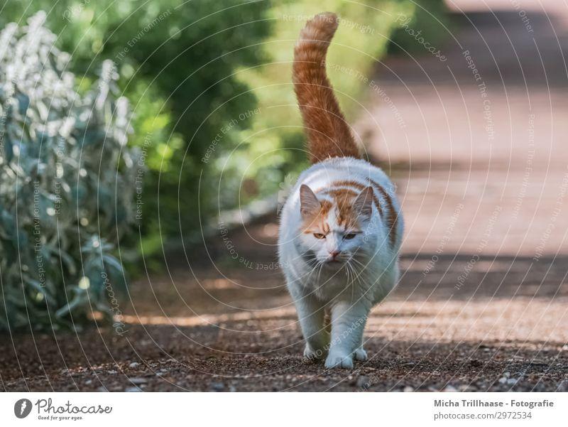 Spazierende Katze im Park Natur Pflanze Tier Sonnenlicht Schönes Wetter Sträucher Haustier Tiergesicht Fell Pfote Hauskatze Kopf Auge Schwanz 1 gehen laufen