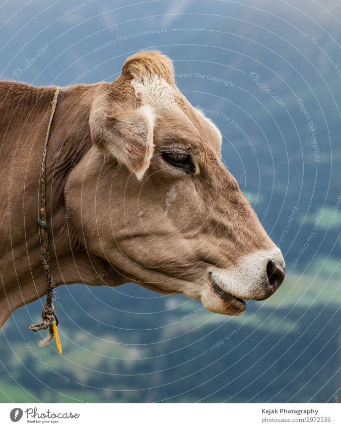 Schweizer Kuh in den Alpen Ferien & Urlaub & Reisen Natur Sommer blau Landschaft Erholung Tier Berge u. Gebirge Umwelt Glück Tourismus braun Freizeit & Hobby