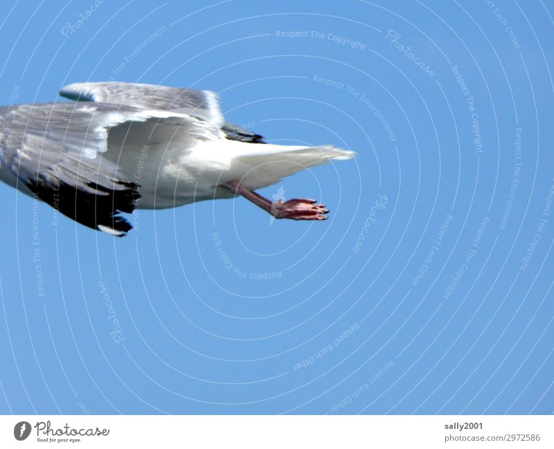 luftig | bin dann mal weg... Tier Vogel fliegen Tierfuß elegant Wildtier Schönes Wetter Flügel Wolkenloser Himmel Möwe Schweben Hälfte kopflos Möwenvögel