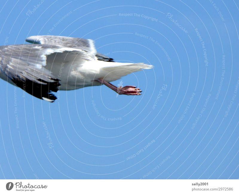 luftig | bin dann mal weg... Wolkenloser Himmel Schönes Wetter Tier Wildtier Vogel Flügel Möwe Möwenvögel Tierfuß fliegen elegant Schweben kopflos Beinhaltung