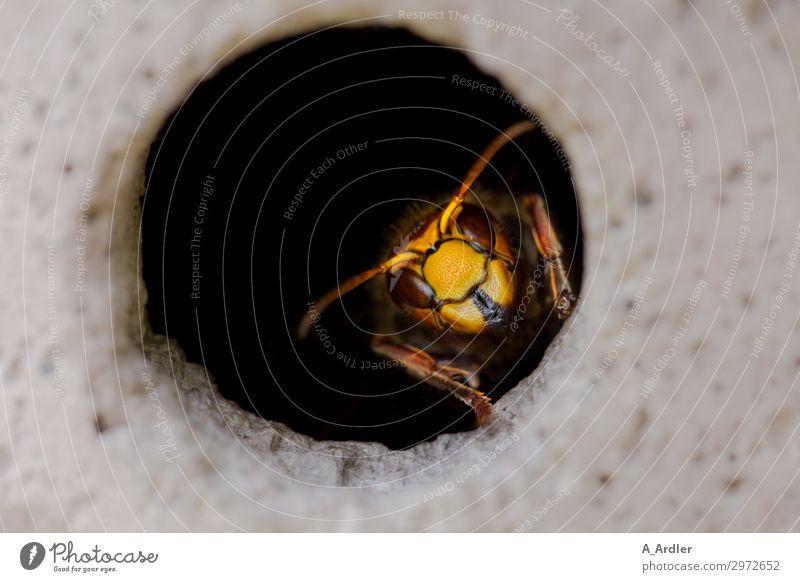 Hornissen Königin im Flugloch Natur Tier Wildtier 1 beobachten ästhetisch außergewöhnlich bedrohlich exotisch fantastisch gruselig schön feminin braun gelb