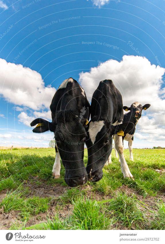 Bio - Wo finde ich das denn? Umwelt Natur Landschaft Wolken Sommer Wiese Fressen Kuh Weide Blick in die Kamera Idylle Biologische Landwirtschaft Farbfoto