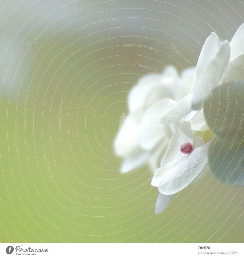 High Key Hortensie grün weiß Pflanze Frühling grau Blüte Garten hell natürlich rosa Wachstum Beginn Sträucher ästhetisch weich Sauberkeit