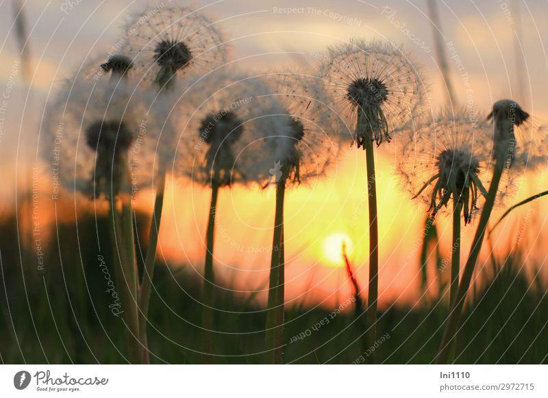 Abendstimmung Pflanze Himmel Sonnenaufgang Sonnenuntergang Sonnenlicht Frühling Schönes Wetter Wärme Blume Löwenzahn Garten Park Wiese gelb grau rot schwarz