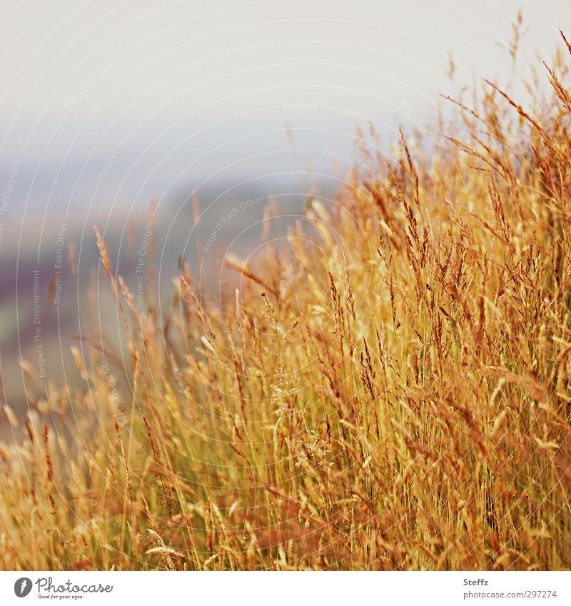 gelbes Gras in Schottland schottisch schottische Landschaft schottisches Wetter Gräser Grasbüschel Grasspitze Grasgeflüster Wiese Hügel Graswiese Grasland