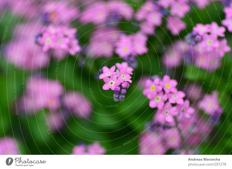 Klein und Lila Umwelt Natur Pflanze Frühling Blume Blatt Blüte Park authentisch frei nah schön grün violett rosa Ferne Farbfoto mehrfarbig Außenaufnahme