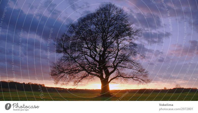 Eiche mit Abendhimmel Natur Landschaft Himmel Wolken Sonnenaufgang Sonnenuntergang Baum Wiese Feld alt leuchten blau gelb grau grün orange rosa schwarz Senior