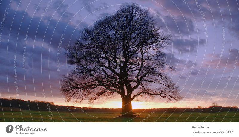 Eiche mit Abendhimmel Natur Landschaft Luft Himmel Wolken Horizont Baum Wahrzeichen alt blau braun mehrfarbig gold grün schwarz Farbfoto Außenaufnahme