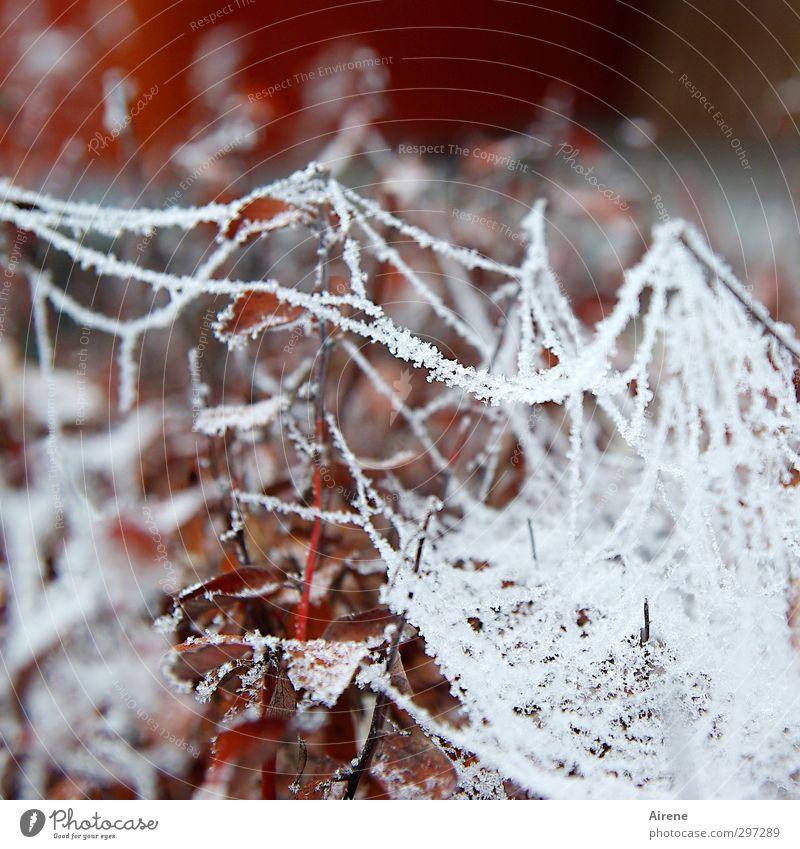 150 - Winterwunder Umwelt Natur Pflanze Herbst Eis Frost Sträucher Blatt Garten Ornament Netz Netzwerk Spinnennetz Eiskristall Kristallstrukturen Raureif