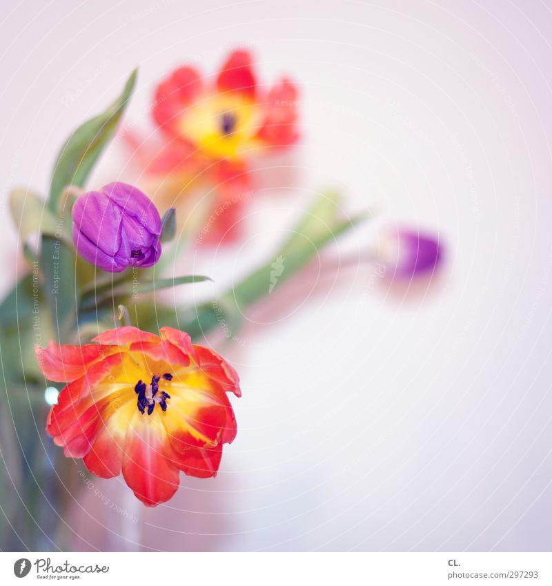 tulpen Natur Pflanze schön Blume rot Blatt gelb Blüte Frühling Garten orange Häusliches Leben Geburtstag Fröhlichkeit Blühend Lebensfreude