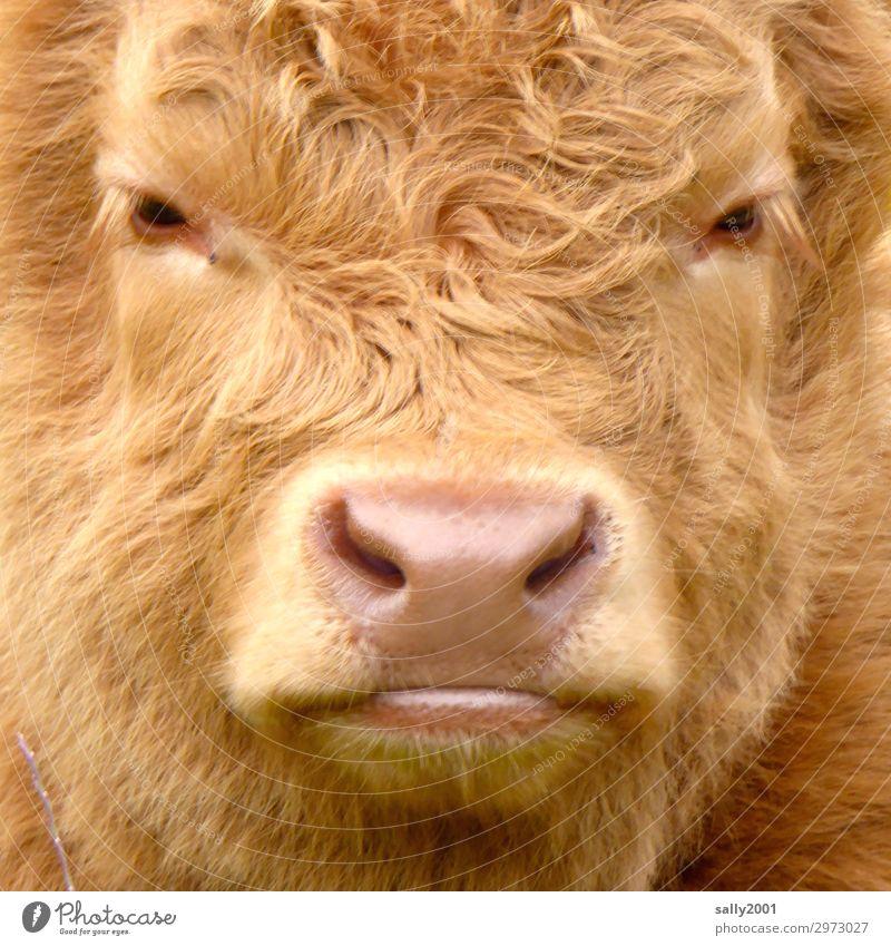 Kuscheltier... Tier Nutztier Tiergesicht Fell Rind Schottisches Hochlandrind Kalb Schnauze Nase 1 Blick frech Freundlichkeit niedlich braun unschuldig weich