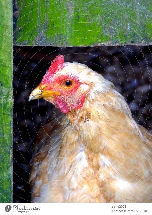 Guten Morgen... Tier Tiergesicht Haushuhn 1 beobachten Blick warten außergewöhnlich Freundlichkeit Stall Holz frech Wachsamkeit Neugier Nutztier Farbfoto