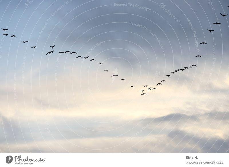 Formation Himmel Natur Wolken Freiheit Vogel fliegen Schönes Wetter Vertrauen Zusammenhalt Schwarm Zugvogel