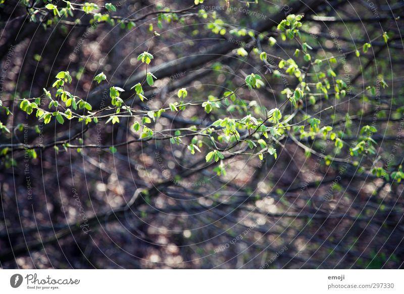 es grünt so grün Umwelt Natur Pflanze Frühling Baum Sträucher Blatt Grünpflanze natürlich Buche Farbfoto Außenaufnahme Nahaufnahme Menschenleer Tag Sonnenlicht
