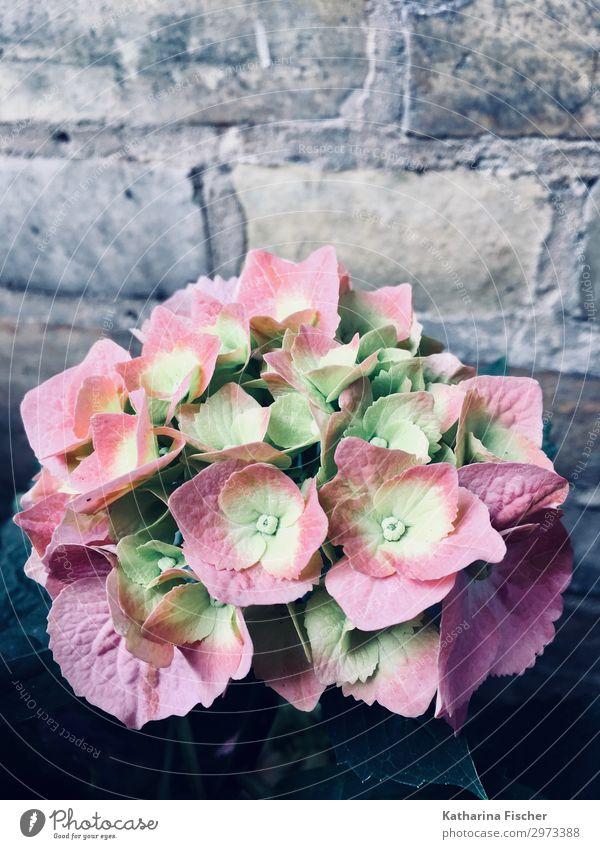 Hortensien pink one Natur Frühling Sommer Herbst Pflanze Blume Blühend schön gelb grün rosa weiß Hortensienblüte Farbfoto Außenaufnahme Menschenleer Morgen Tag