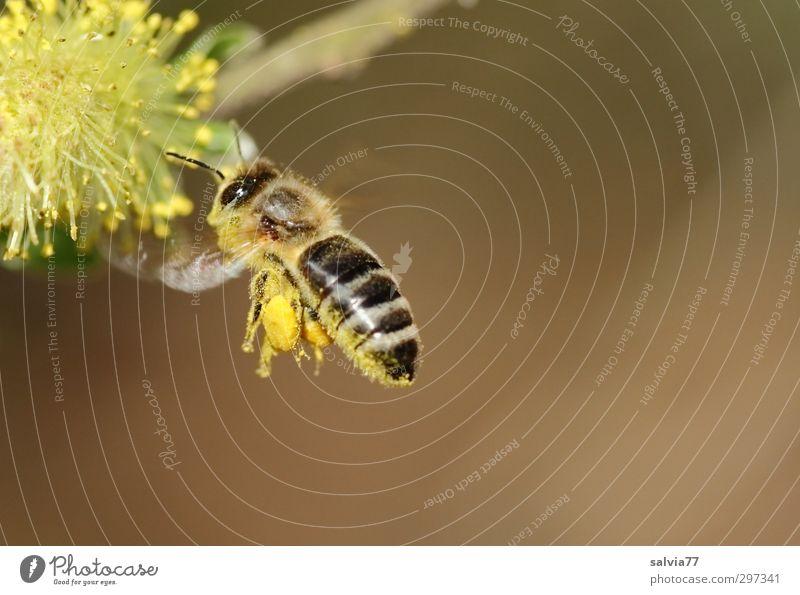 Landeanflug 2 Leben Duft Umwelt Natur Pflanze Tier Frühling Schönes Wetter Sträucher Wildpflanze Nutztier Wildtier Biene 1 Frühlingsgefühle gewissenhaft fleißig