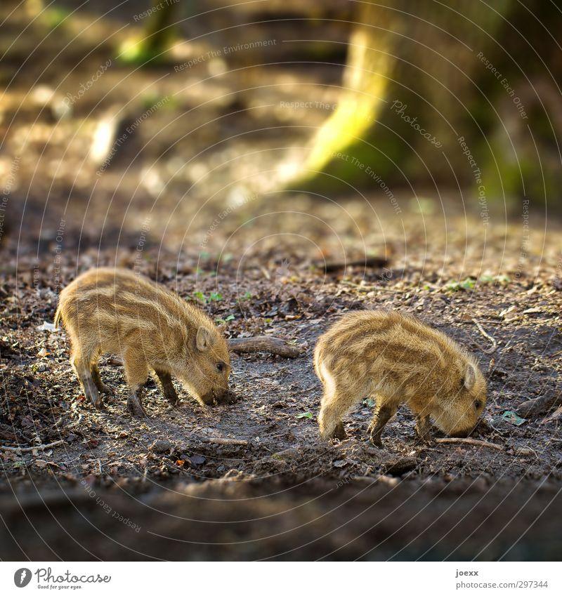 Apfel Wald Wildtier Fell Frischling 2 Tier Tierjunges braun grün Wildschwein Geschwister Farbfoto Außenaufnahme Nahaufnahme Muster Menschenleer Tag Dämmerung