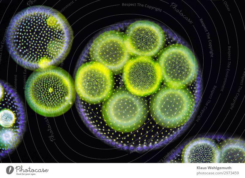 Zankapfel Umwelt Natur Pflanze Wasser Wassertropfen Sommer Algen Volvox Teich Schwimmen & Baden Wachstum blau gelb grün schwarz türkis Kugel Blattgrün Mikroskop